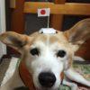 オリンピック応援(犬)団長