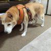 シニア犬のペット保険入るべき?