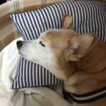 老犬の寝顔は格別に可愛い
