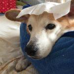 寝たきり老犬にはドライシャンプー